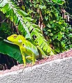 Colour changing camouflage green Chameleon looking at me.jpg