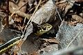 Common Garter Snake ARPT-SN-CG-3.jpg