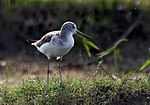 Common Greenshank I IMG 1611.jpg