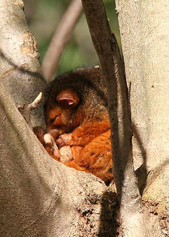 Common ringtail possum - Asleep in daytime roost. Common ringtails usually build nests. This one prefers the open air.