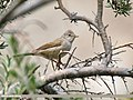 Common Whitethroat (Sylvia communis) (45225532272).jpg