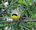 Common Yellowthroat- San Joaquin Wildlife Sanctuary (4415112987).jpg