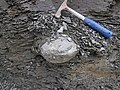 Concretion in gray shale (Fort Payne Formation, Lower Mississippian; Burkesville West Rt. 90 roadcut, Kentucky, USA) 2.jpg
