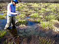 Conducted Oregon Spotted Frog Egg Mass Survey.jpg