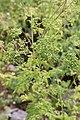 Conium maculatum GiardinoBotanicoAlpinoViote 20170902 C.jpg