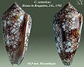 Conus canonicus 1.jpg