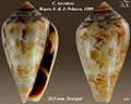 Conus tacomae 1.jpg