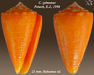 <i>Conus zylmanae</i> Species of sea snail