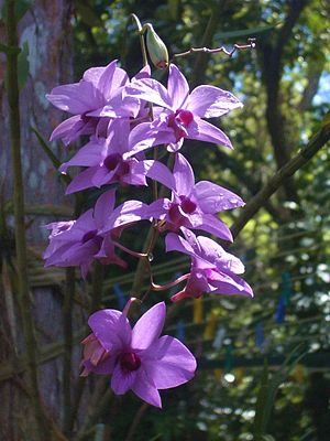 Cooktown Orchid, Dendrobium phalaenopsis