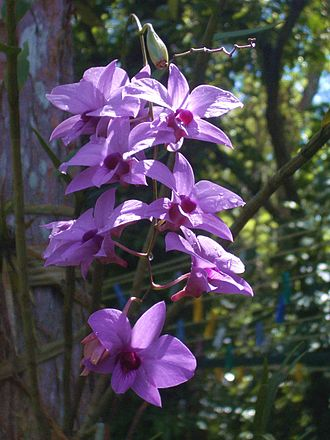 Dendrobium bigibbum - Image: Cooktown orchids and bud
