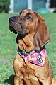 Cooper, a bloodhound visiting SF Animal Care and Control.jpg