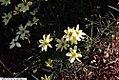 Coreopsis verticillata Moonbeam 10zz.jpg