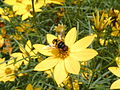 Coreopsis verticillata with syrphid 001.JPG