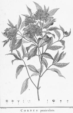 Cornus racemosa, Illustration aus L'Héritiers Cornus: specimen botanicum ..., dort als Cornus paniculata