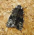 Coronet. Craniophora ligustri - Flickr - gailhampshire.jpg