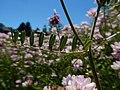 Coronilla varia - crownvetch - Flickr - Matt Lavin (1).jpg