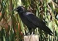 Corvus brachyrhynchos 6.jpg