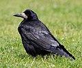 Corvus frugilegus -Shropshire, England-8.jpg