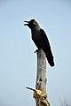 Corvus splendens - East Midnapore 2015-05-02 9275.JPG