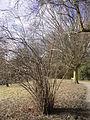 Corylus maxima R0015243.JPG