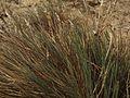Corynephorus canescens plant (2).jpg