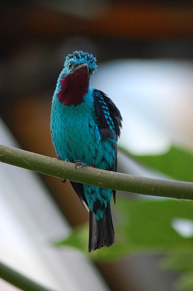 Ficheiro:Cotinga cayana -Burgers Zoo, Arnhem, Netherlands -male-8a.jpg