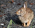 Cottontail Rabbit in West Hartford, Connecticut 3.jpg