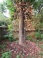 Couroupita guianensis - Cannon Ball Tree at Peravoor (24).jpg