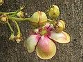 Couroupita guianensis - Cannon Ball Tree at Peravoor (75).jpg