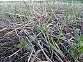 Cover crops in Northwestern South Dakota 2015 (20115558362).jpg