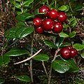Cowberry (Vaccinium vitis-idaea) - Oslo, Norway 2020-08-30 (02).jpg