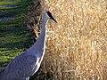 Crane and corn.jpg