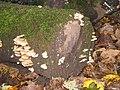 Crepidotus mollis - geograph.org.uk - 596905.jpg