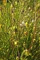 Crepis setosa inflorescence (22).jpg