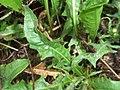 Crepis setosa leaf (20).jpg