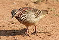 Crested Francolin, Dendroperdix sephaena at Borakalalo National Park, South Africa (9937690796).jpg