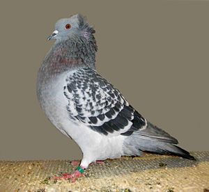 Crested Soultz - Blue chequer