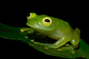 Cricket Glass Frog - Hylinobatrachium colymbiphyllum Plantation Road.jpg