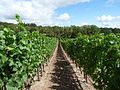 Cristom Vineyard Oregon with example of clear cultivation.jpg