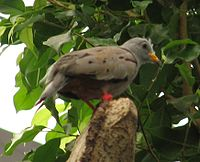 Croaking Ground Dove 002