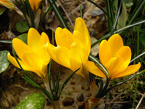 Crocus 'Mammoth Yellow' (Crocus flavus × Crocu...
