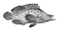 Cromileptes altivelis (Day).png