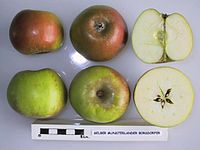 Cross section of Gelber Munsterlander Borsdorfer, National Fruit Collection (acc. 1951-167).jpg