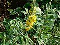 Crotalaria spectabilis (1651439952).jpg