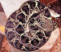 ヒガシダイヤガラガラヘビ