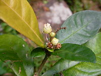 Croton hancei flower.jpg