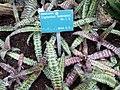 Cryptanthus fosterianus.JPG