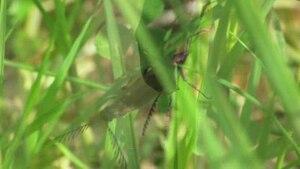 File:Ctenicera pectinicornis.ogv