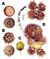 Cupule of Fagaceae.jpg