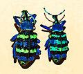 Curculionidae - Eupholus magnificus.JPG